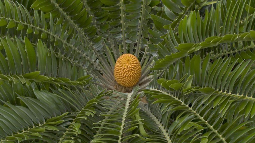 tanaman pakis haji
