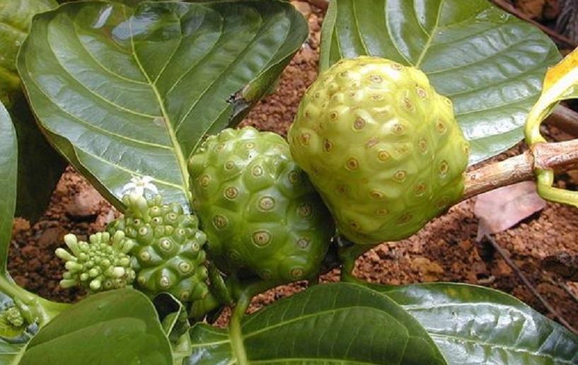 manfaat daun mengkudu