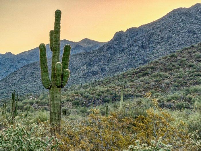 kaktus saguaro