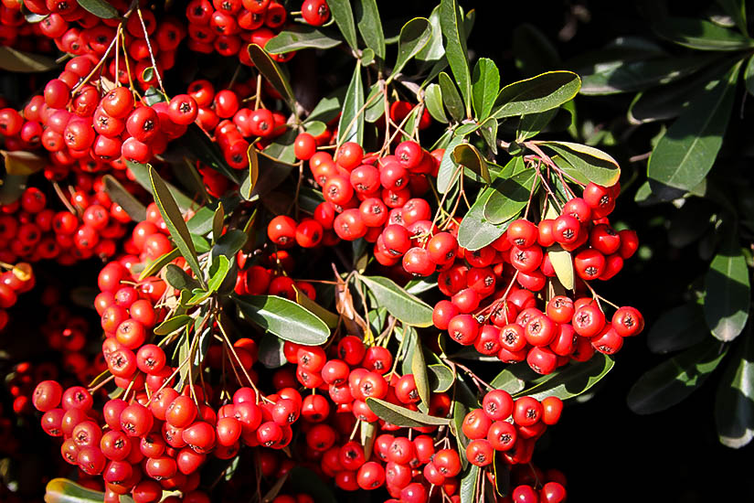 tanaman firethorn
