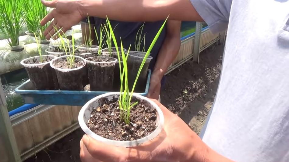 cara menanam padi organik