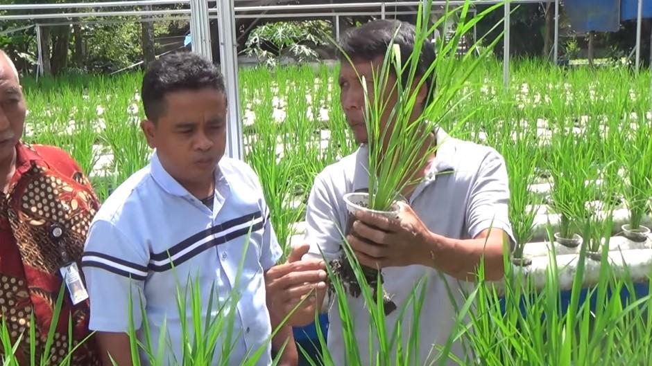 penanaman padi hidroponik