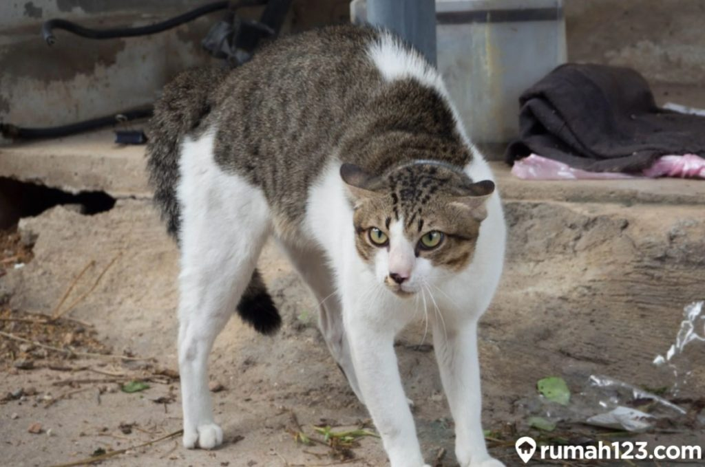 kucing marah