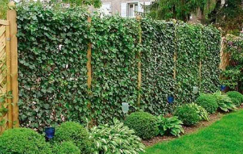 pagar tanaman