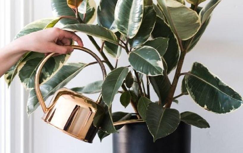 tanaman hias di rumah