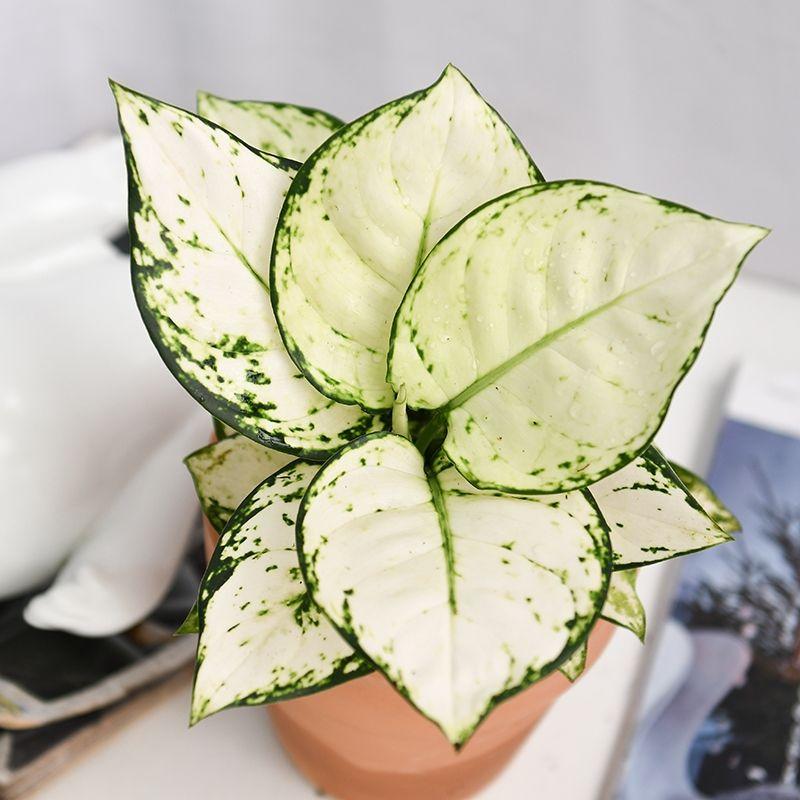 Aglaonema Super White