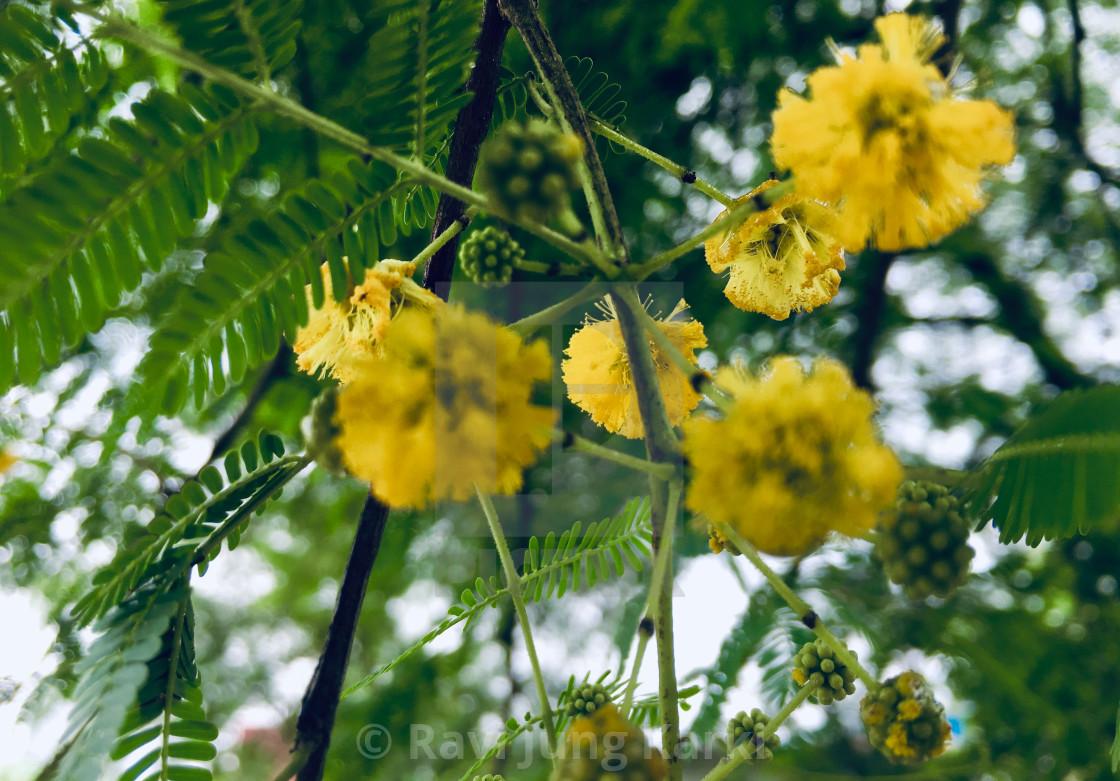 tanaman babul