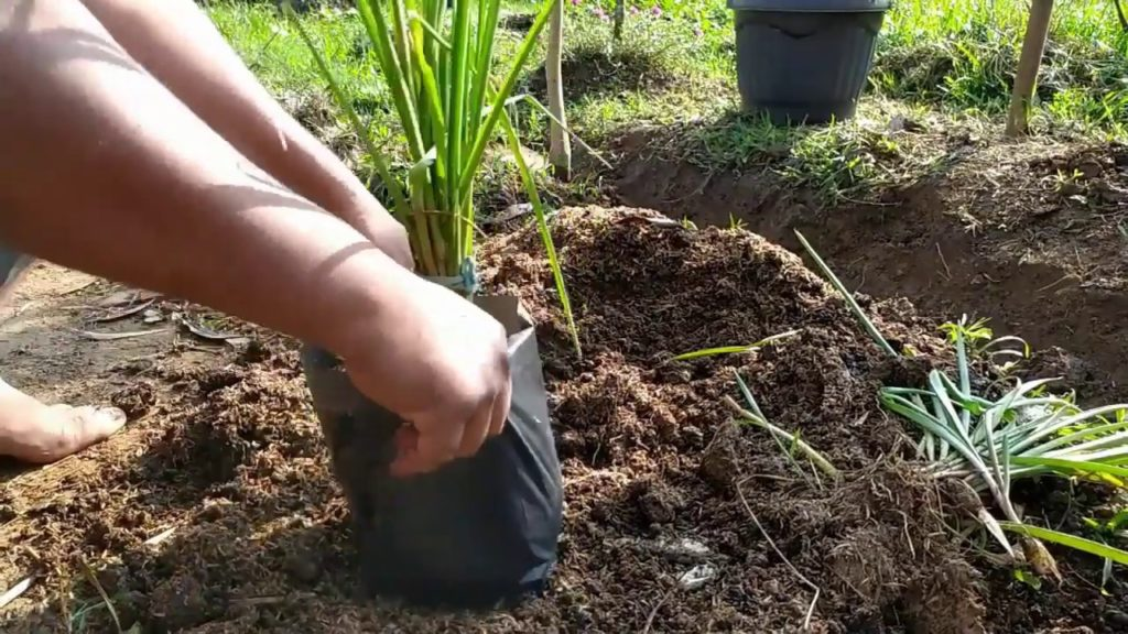 menanam sedap malam dalam pot