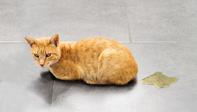 kucing pipis