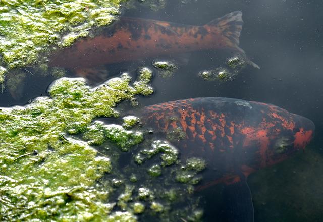 lumut kolam ikan