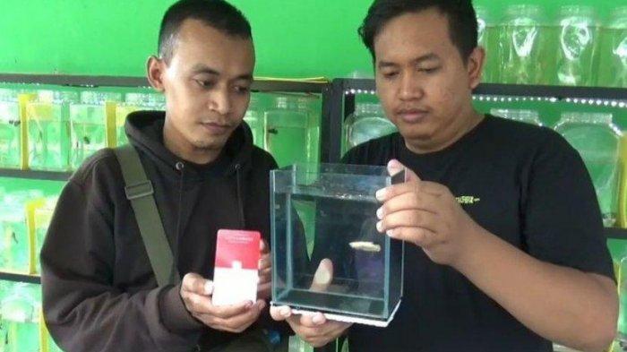 Ikan Cupang Ditukar dengan Emas Batangan