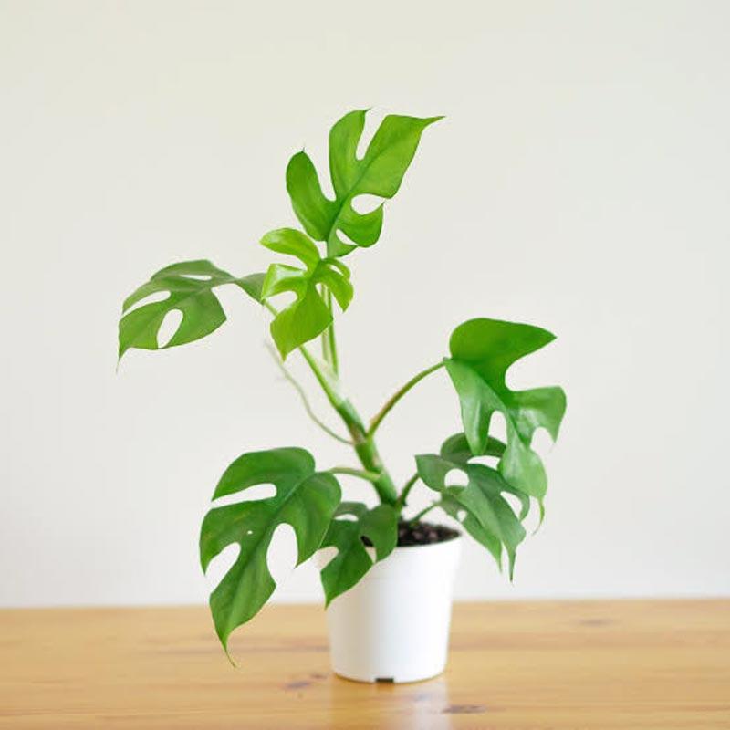 jenis tanaman hias yang mahal