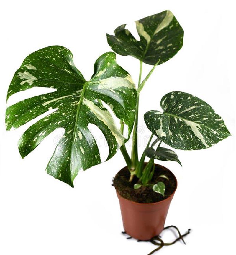 jenis tanaman yang mahal