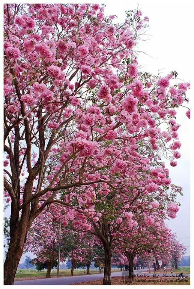 Pohon tabebuya 3